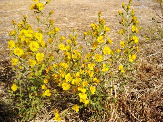 Heermann's tarweed, Holocarpha heermannii