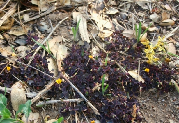 Creeping woodsorrel, Oxalis corniculata