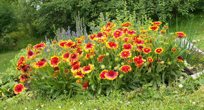 Indian Blanket, Gaillardia aristata