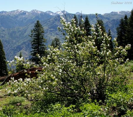 Western Serviceberry, Amelanchier alnifolia