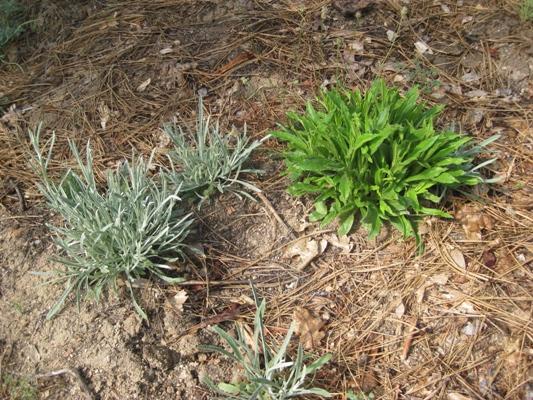 Wright's Cudweed, Pseudognaphalium beneolens and California everlasting, Pseudognaphalium californicum 400
