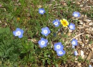 Baby Blue Eyes, Nemophilia menziesii