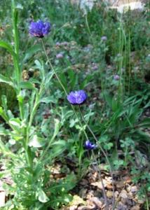 Blue Dicks, Dichelostemma capitatum, in my garden