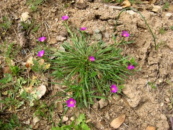 Calandrinia ciliata, Redmaids