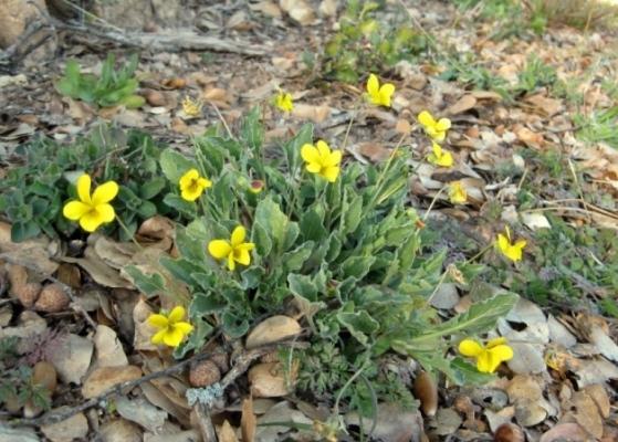 California Golden Violet Viola pedunculata