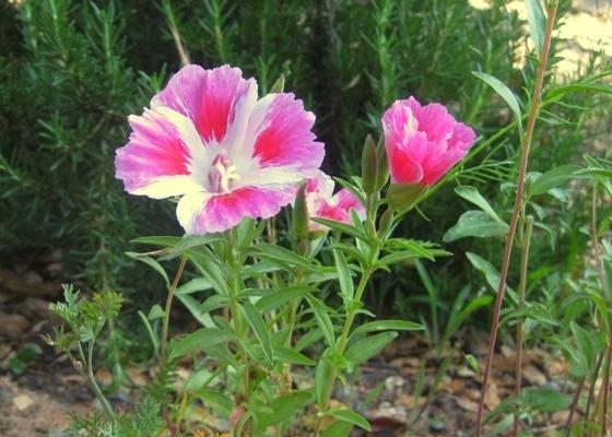 Farewell to Spring, Clarkia amoena