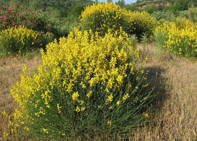French broom, Genista monspessulana