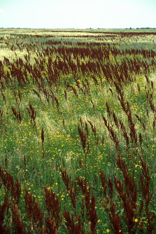 Rumex crispus Curly Dock