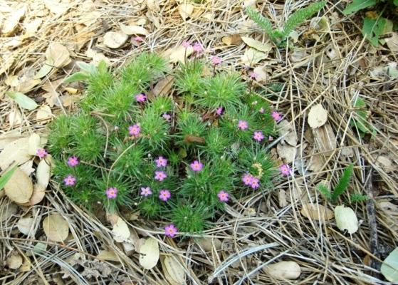 Ephemerals And Wildflowers Sierra Foothill Garden