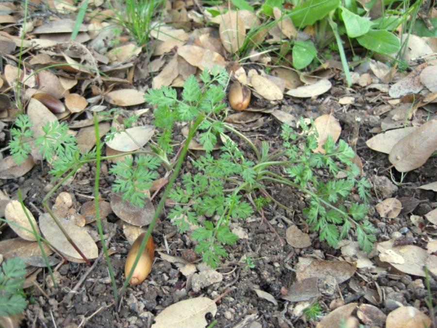 Hedgeparsley, Torilis arvensis