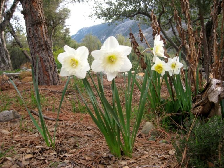 unknown daffodil