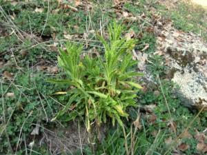 Pearly everlasting, Gnaphalium californicum CA X