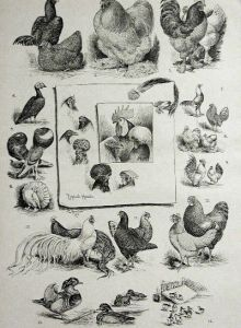 1891 Franklane Sewell Poultry Show Varieties Madison Square Garden 1891 Print