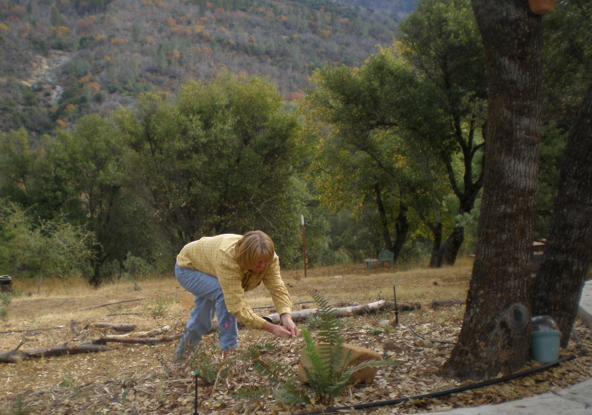 2006- Planting Western sword fern and heuchera
