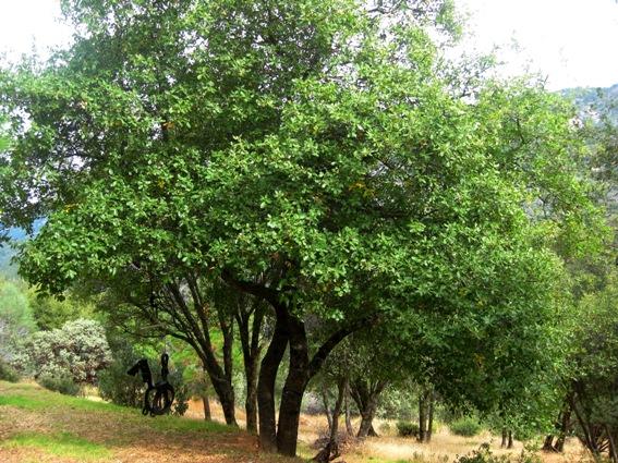 Interior Live Oak, Quercus wislizenii, evergreen, here in December