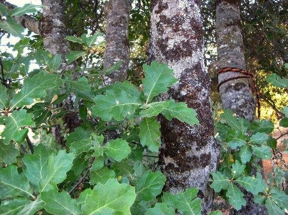 Oracle oak leaves