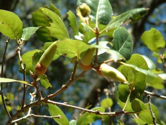 Quercus wislizenii Interior Live Oak leaves and acorn
