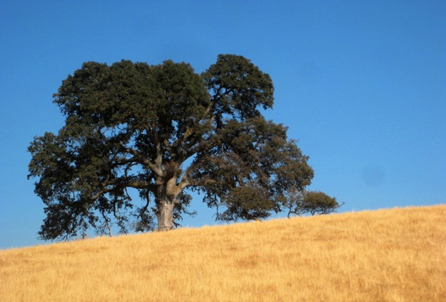 Valley Oak, Quercus lobata, are the wide majestic oaks, you see in the lower elevations before reaching the valley