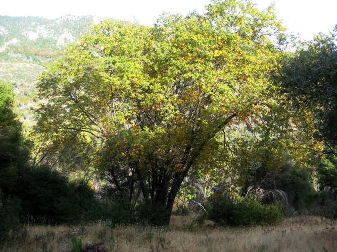 California Black Oak Quercus kelloggii