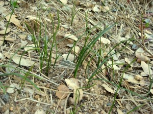 Ephemeral sprouts appear as early as middle of February
