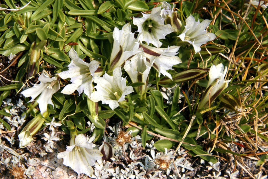 Arctic gentians, Gentiana algida, found in alpine areas of CA