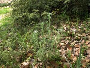 Golden Yarrow, Eriophyllum confertiflorum