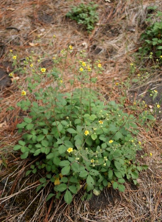 Sticky Cinquefoil, Potentilla glandulosa