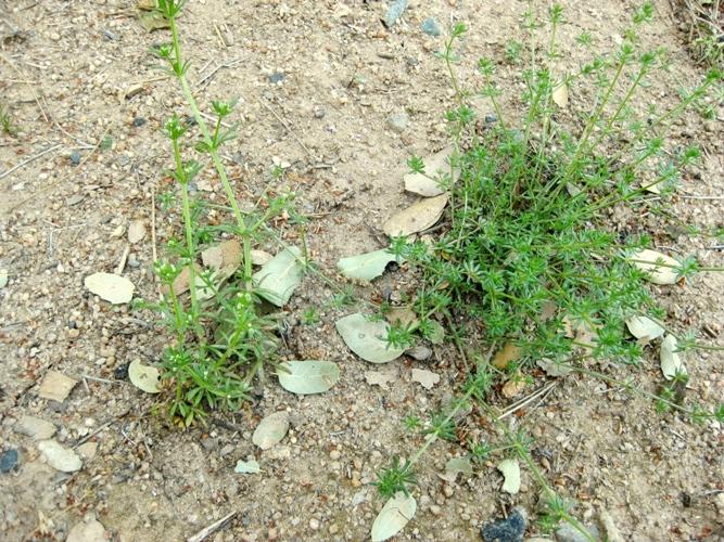 Bedstraw Galium aparine and Field Madder, Sherardia arvensis