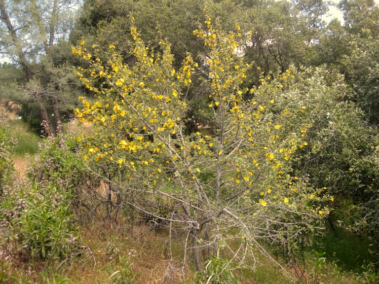 Flannel bush, Fremontodendron californicum