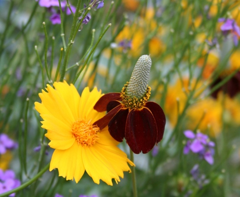 Coreopsis and Indian Hats, both native California wildflowers.