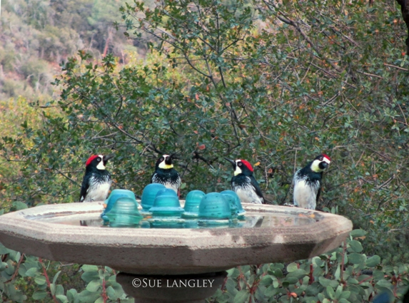 Four woodpeckers