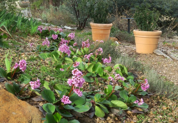 Bergenia bed blooming in February