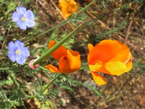 Orange California poppy with soft Baby blue eyes