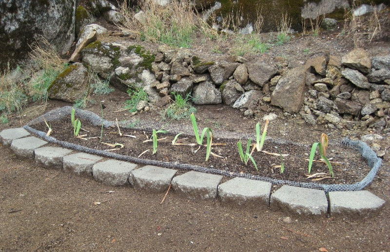 After dividing, line your Iris bed with wire if you have gophers