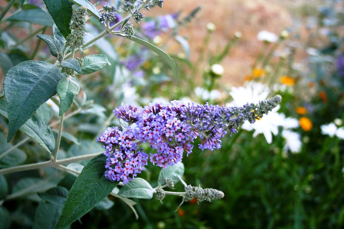 Variegated Jack Frost Ligustrum Evergreen Shrub Grows 4