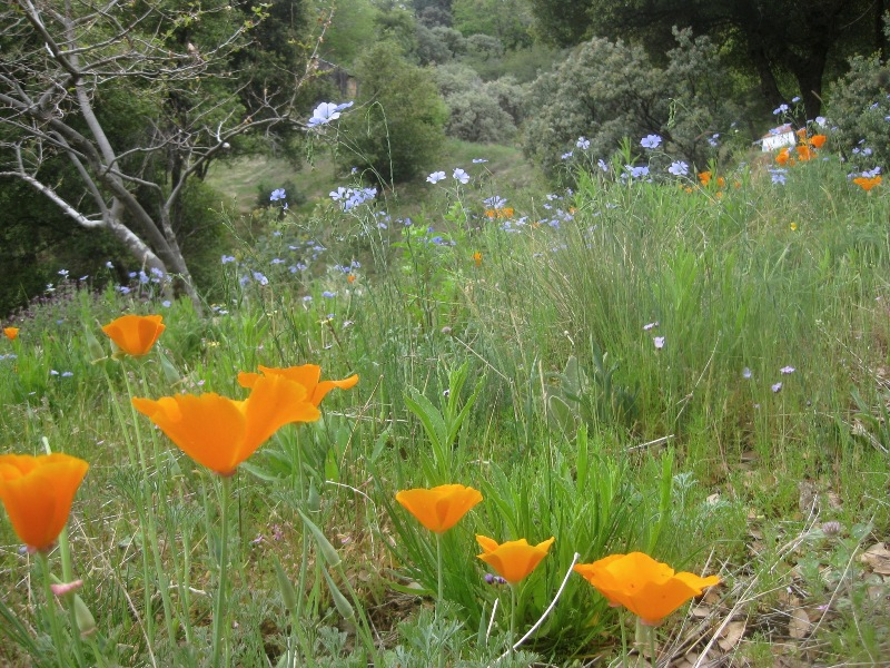 Poppies and flax