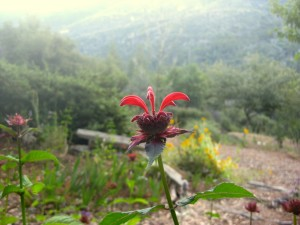 Red bee balm in the mist
