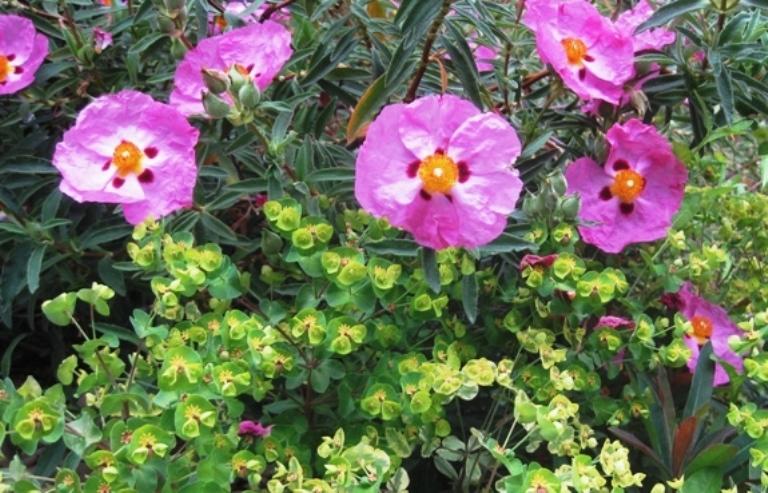An ideal plant list for a new Sierra foothill garden