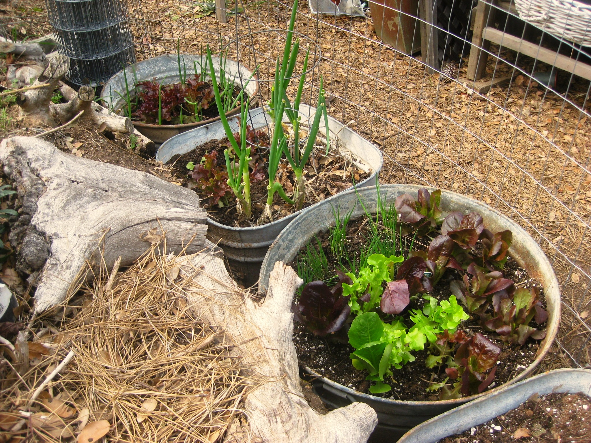 Three galvanized tubs provided enough vegetables for two, in a small space.