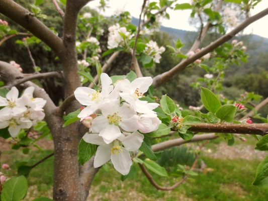 Fuji or Gala, I dont remember, but at the first of April they bloom with a lovely pinky white. Deer don't bother these for some reason, even though the deer path runs right along side them.  The two fruit trees will soon be the 'bones' of my new vegetable garden.