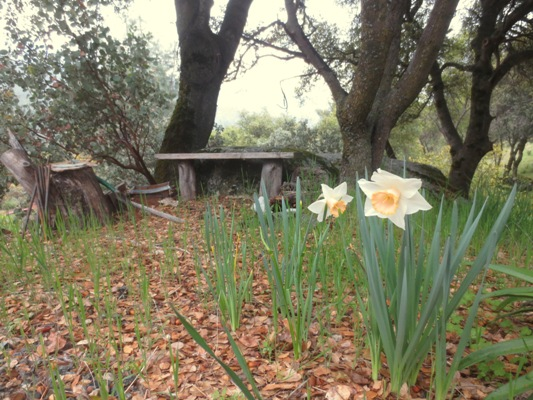 Walking down the path we see an Apricot Pink daffodil,..don't know the name...
