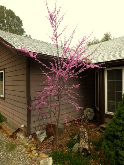 First off we pass the redbud blooming...