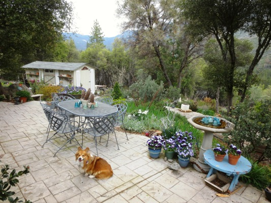 Maggie waits as I catch up. The patio pots are filled with violas and pansies planted in December. Beyond the table is my old rusty wheelbarrow with more pansies, tipsy pot and garden shed.