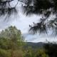 Bull pines