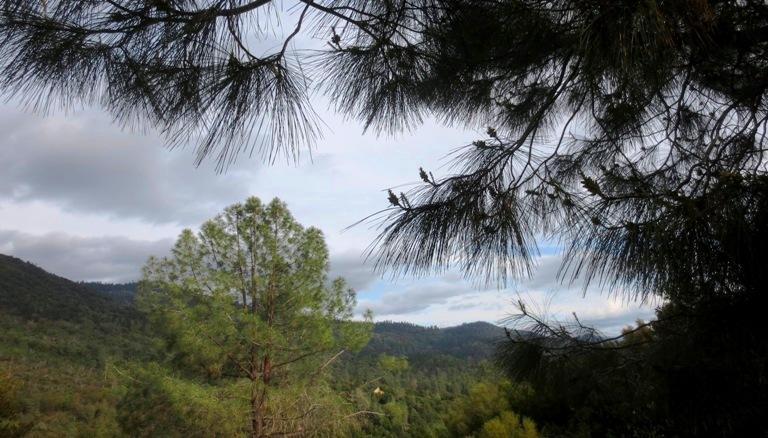 Why hate the beautiful Bull pine?