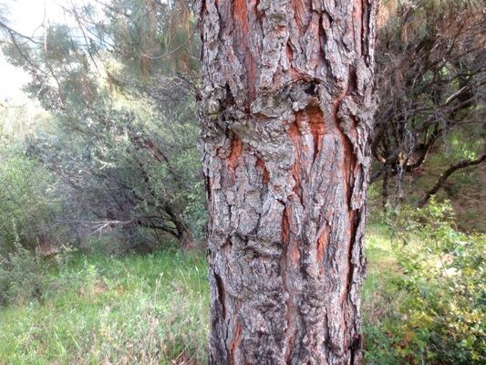 Close-up of the distinctive Pinus sabiniana bark