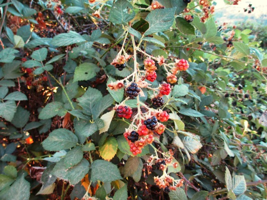 Many colored bunches of blackberries cling to the dusty vines.
