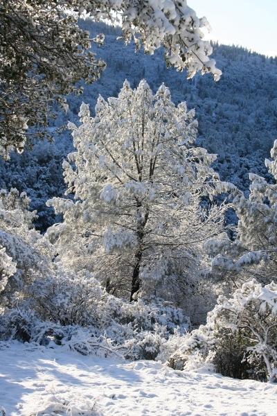 Dramatic snowy bull pine in March