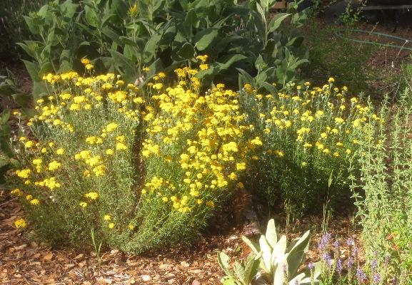 Eriophyllum confertiflorum var. confertiflorum Golden-yarrow