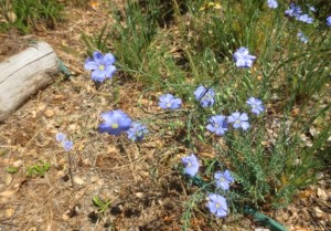Many more flax flowers appeared this year